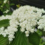 小さな白い花が身を寄せ合って…