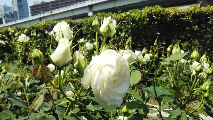 【ブライダルホワイト】@大阪・中之島公園バラ園