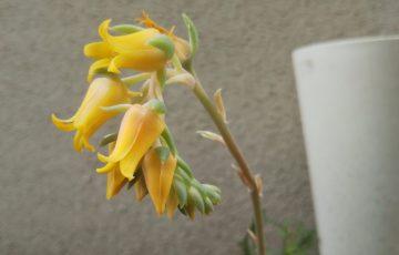 エケベリア【ムーンフェアリー(?)】とってもカワイイベル状花