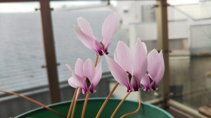 原種シクラメン【ヘデリフォリウム】の開花