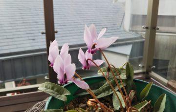 原種シクラメン【ヘデリフォリウム】の花