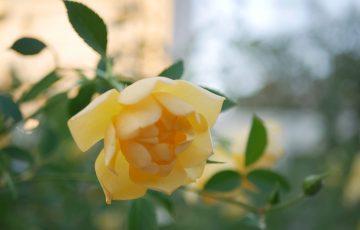 黄色のイングリッシュローズ【バターカップ】