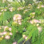 ネムノキの開花
