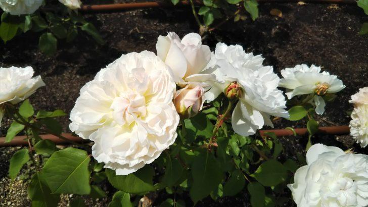 【メアリーマグダレン】花色がアプリコットから白に変化していく。