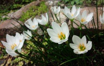 タマスダレ(ゼフィランサス)の開花