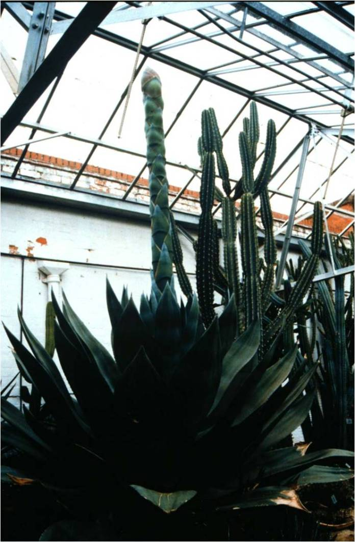 Agave americana - flowering spike growing up before emerging through the greenhouse roof
