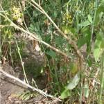 Infection processes of <i>Sclerotinia sclerotiorum</i> in <i>Brassica napus</i>