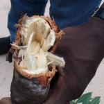 Woody storage root of Manihot violacea