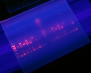 Banana DNA polymorphisms seen in a fluorescent separation assay