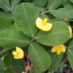 Origin of triploid <i>Arachis</i> by autopolyploidy