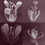 Number and position of floral organs in <i>Arabidopsis</i>