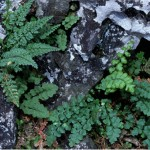 Polyploid speciation in <i>Asplenium</i>