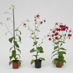Somatic hybrids of Nicotiana