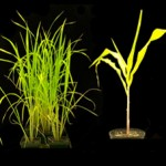 Yellow Stripe-Like metal transporters in Brachypodium