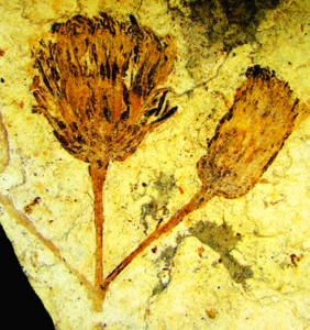 A new fossil taxon of Asteraceae