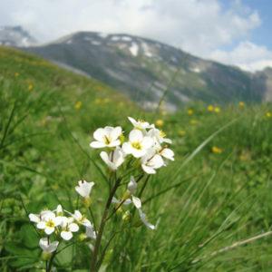 Contemporary gene flow in <i>Arabis alpina</i>