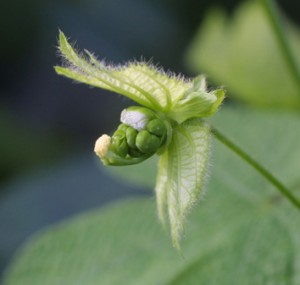 Signal honesty and cost of pollinator-rewards in <i>Dalechampia</i>