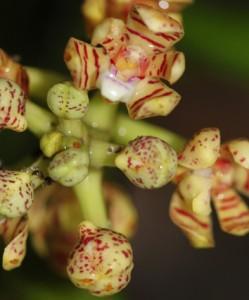 Rain-splash pollination in a deceptive orchid