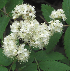 Cytotype diversity in Sorbus in Britain