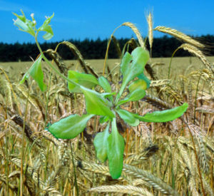 Three plant species for my ten best of everything: wheat, pine and arabidopsis