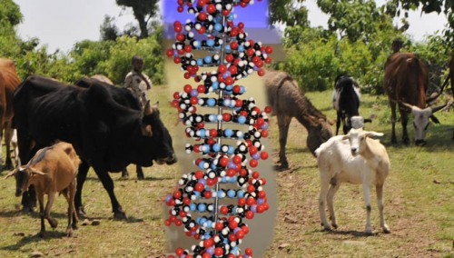 DNA and Farm Animals