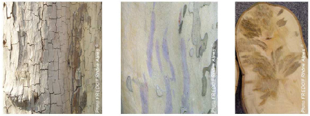 La disparition du feuillage, l'écorce grise et craquelée, ou les taches violettes le long du tronc sont des indicateurs d'une attaque possible par le champignon