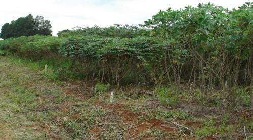 Cassava growing in the tropics.