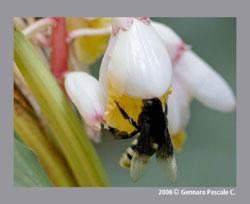 Bombus terrestris, the bumble bee.