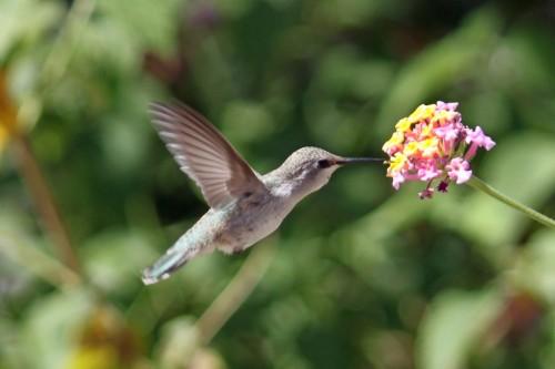 Hummingbird and Lantana