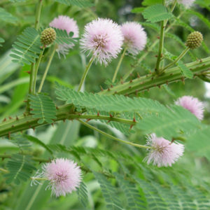 Invasive Mimosa does not share symbionts with native relatives