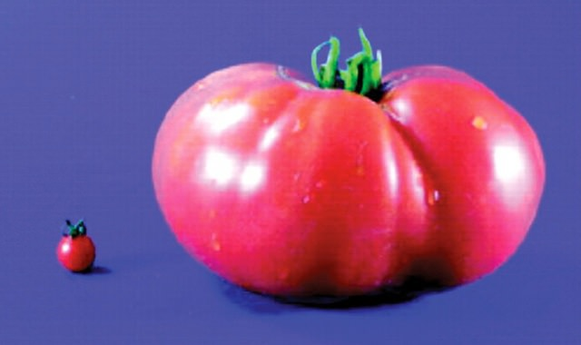 A tiny wild tomato next to a massive cultivated tomato.