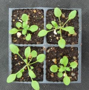 Stabilization of yield in plant genotype mixtures