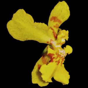 Floral elaiophores of <i>Vitekorchis</i>, <i>Cyrtochilum</i> and <i>Oncidium</i>