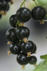 Winter warming reduces fruit yield of blackcurrant cultivars 'Narve Viking' (photo) and 'Titania' the following summer. Photo by Connie Krogh Damgaard, Aarhus University.