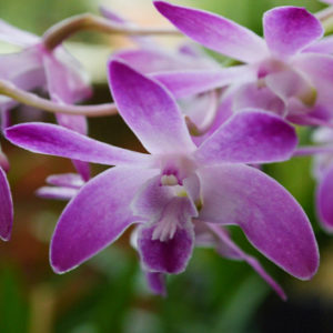 Evolution of reproductive isolation in Dendrobium