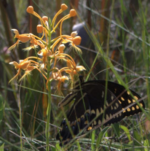 A Palamedes swallowtail butterfly (Papilio palamedes) inserts its long proboscis into the equally long nectar tube of an orange-fringed orchid (Platanthera ciliaris). Photo by Adam Chupp.
