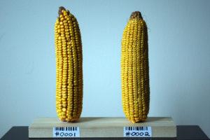 Biofortfied's corn cobs.