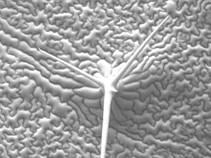 Epiderm of a leaf of Arabidopsis thaliana seen by cryo-scanning electron microscopy. Image: Emmanuel Boutet / Wikipedia.