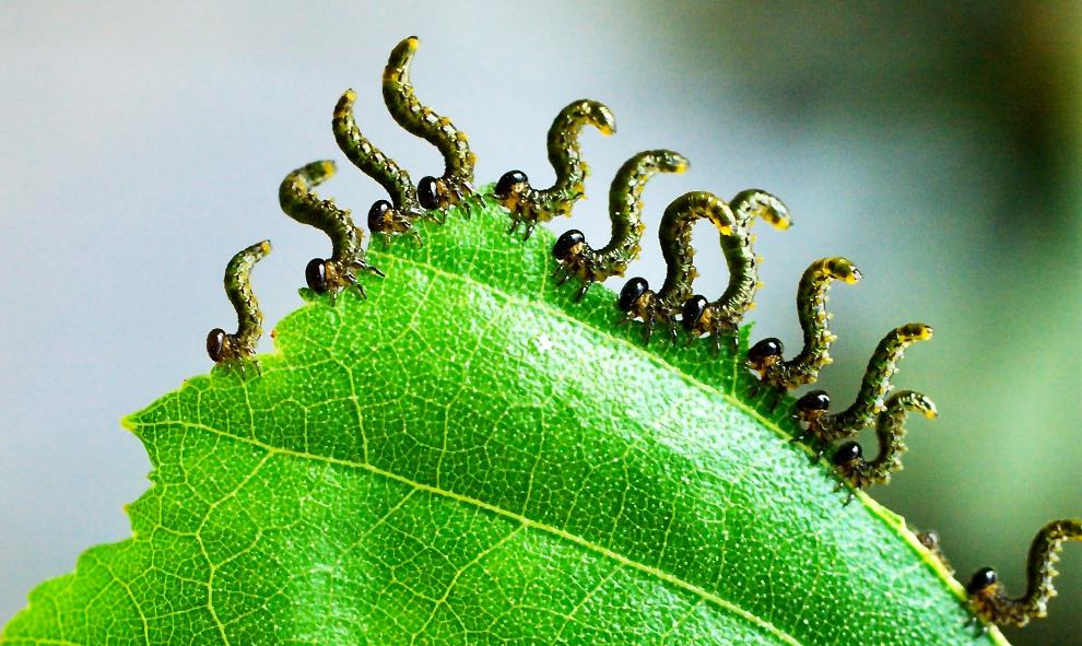 leaf mechanical traits in insect herbivory  u00ab botany one