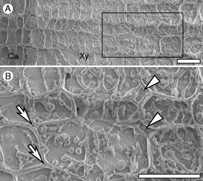 Cryo-SEM images of a transverse surface of the outermost annual ring on the lower side of an inclined stem of a Chamaecyparis obtusa seedling in June 2012 (15 d after the start of inclination).