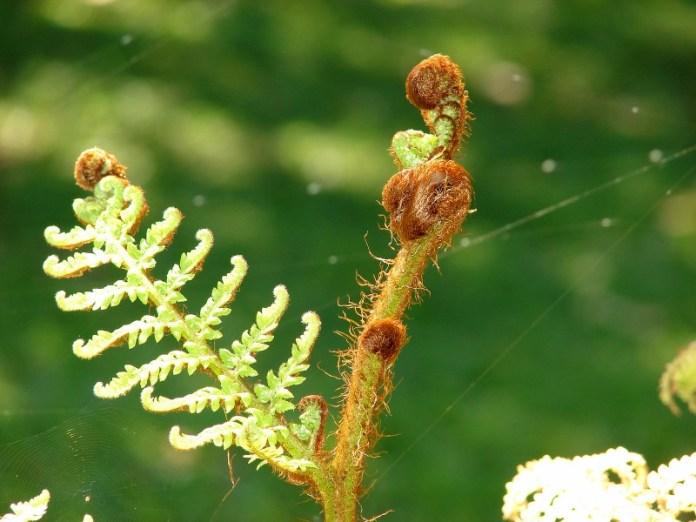 Sphaeropteris cooperi unfurling.