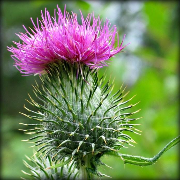 Spear Thistle Flower