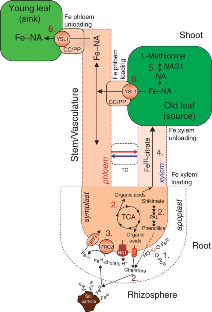 The proposed model of Si-mediated alleviation of Fe deficiency in cucumber.