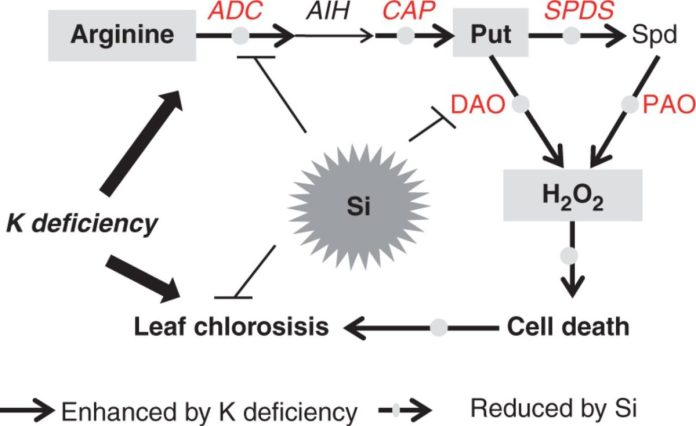 A model depicting how Si is involved in alleviating K deficiency by reducing the excessive accumulation of putrescine.