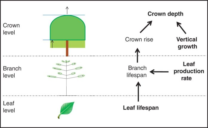 Determinants of crown depth at three organizational levels.