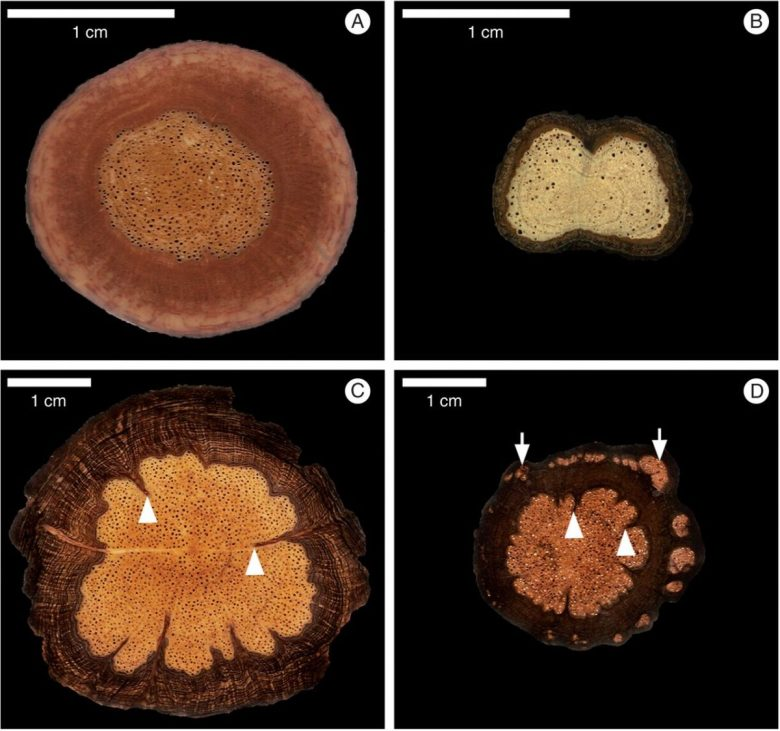 Macroscopical anatomical patterns of the roots of Sapindaceae lianas.