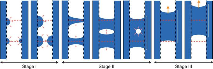 Schematic of water refilling in an embolized xylem vessel.