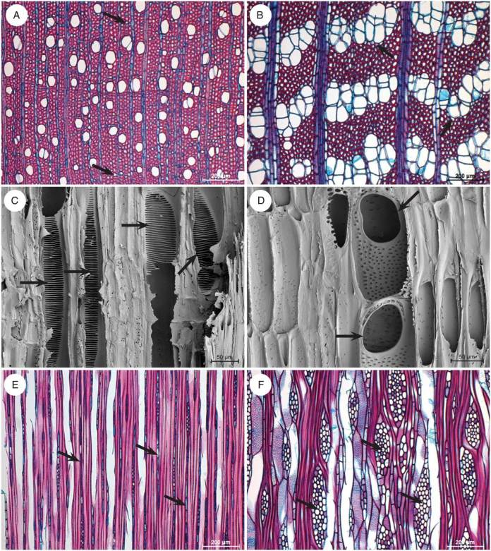 Illustrations of light microscope wood sections (A, B, E, F) and scanning electron microscope surfaces (C, D) showing the marked wood anatomical difference between Viburnum (A, C, E) and Sambucus (B, D, F).