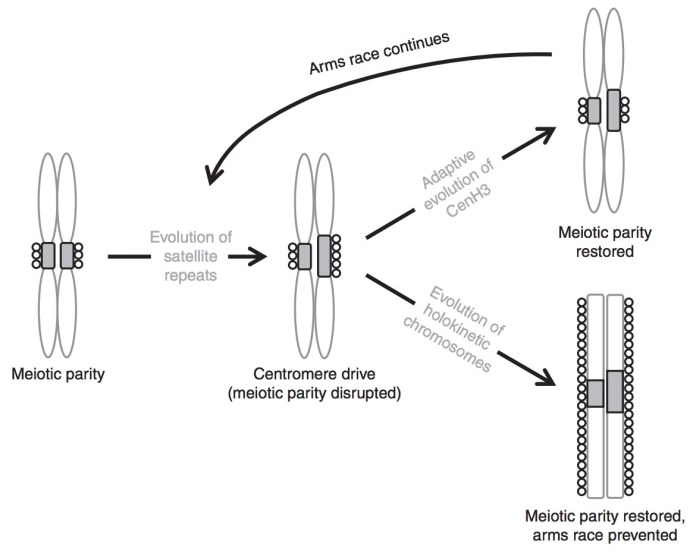 The model of centromere drive in monocentric chromosomes and its suppression by chromosomal holokinetism.