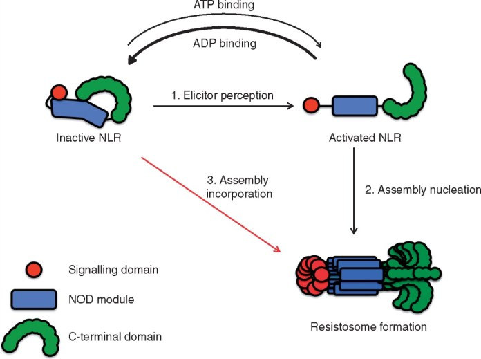 Model for signalling by cooperative assembly formation (SCAF) of plant NLRs.